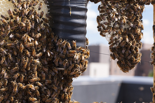 honey bee swarms