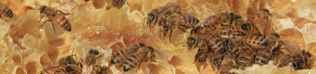 showing honey bees on fresh comb