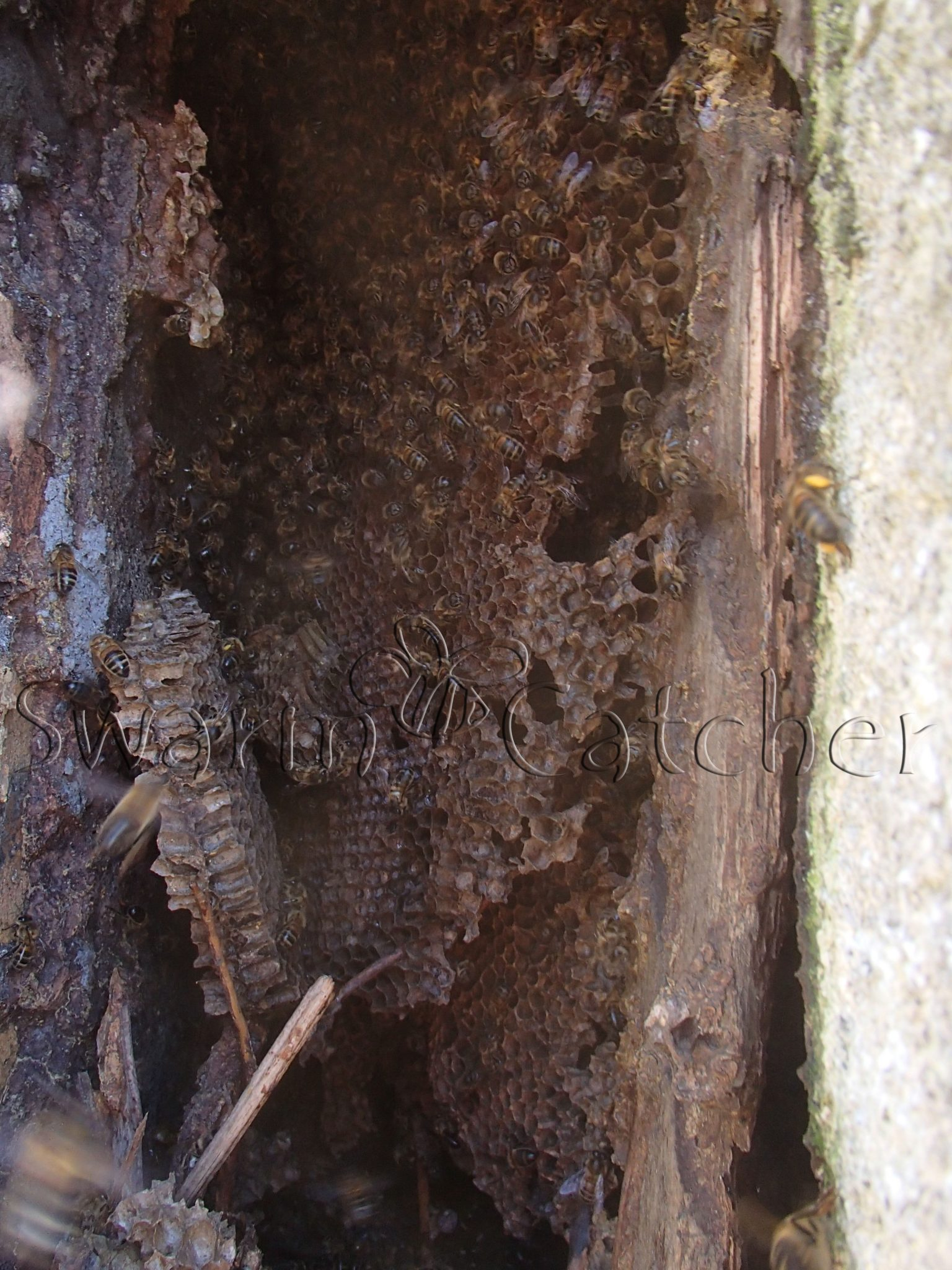 Honey Bees In Attic Spaces Removal Amp Relocation Specialists