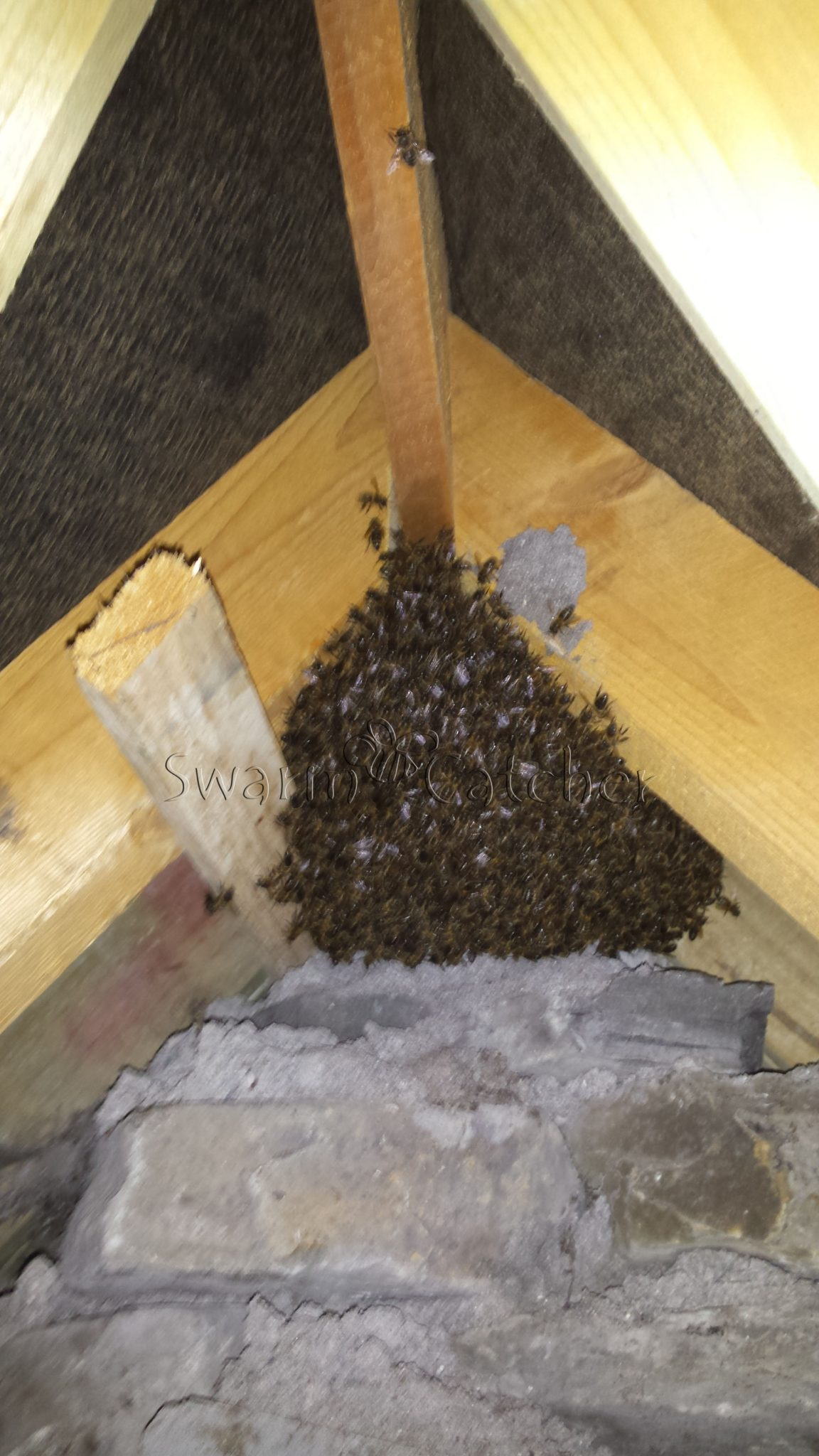 Honey bee nest in roof