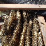Honey Bees in Roof