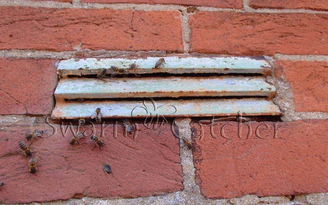 Honey Bees in Wall