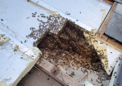 Bruton Somerset bee nest roof cutout 04