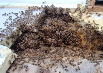 Bruton Somerset bee nest roof cutout 05