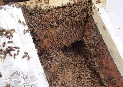 Bruton Somerset bee nest roof cutout 08
