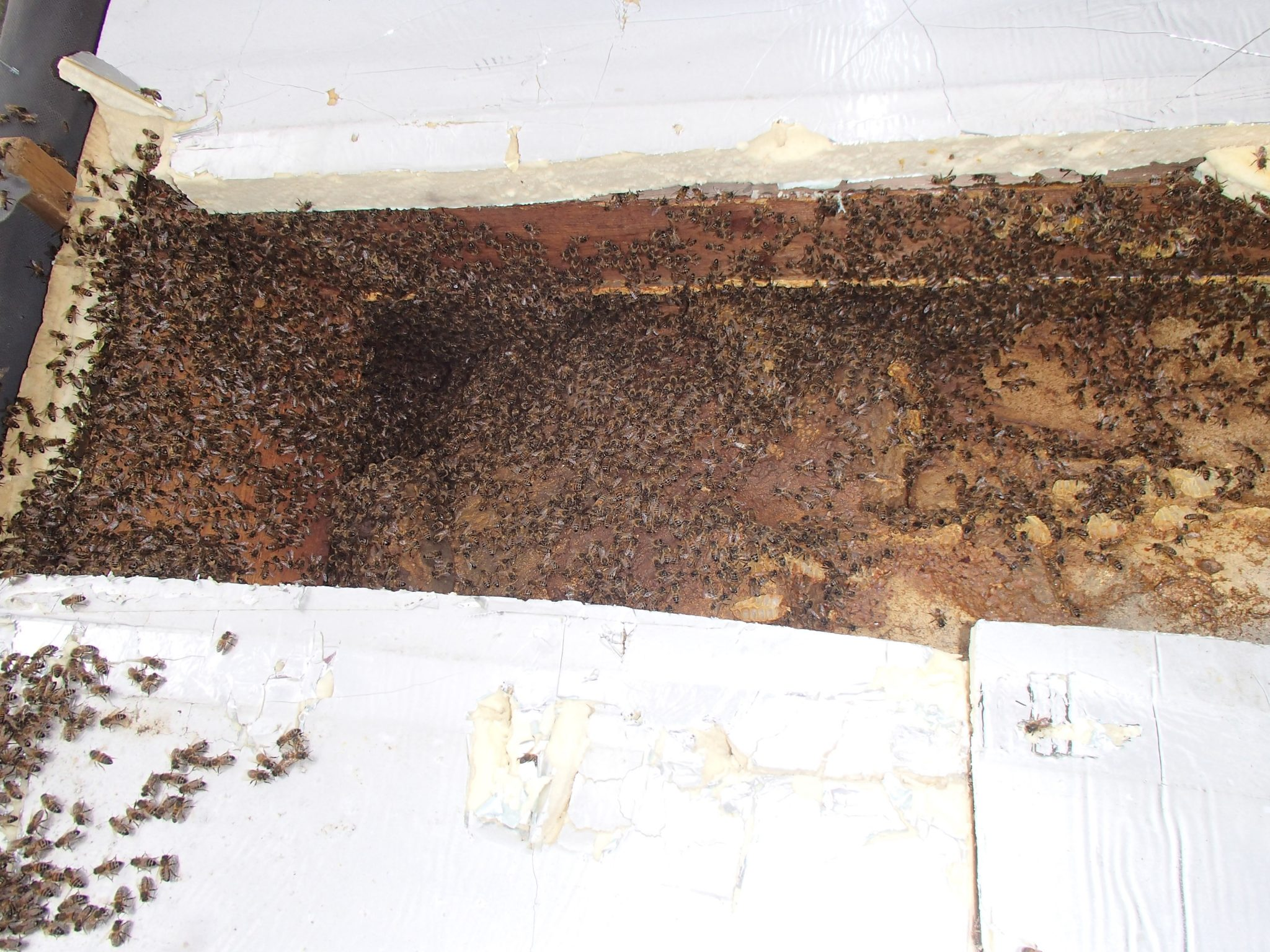 Bruton Somerset bee nest roof cutout 09